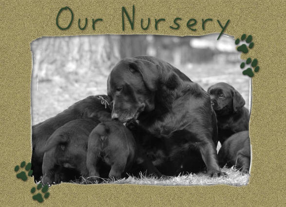 Massachusetts based labrador retriever breeder of English style lab puppies